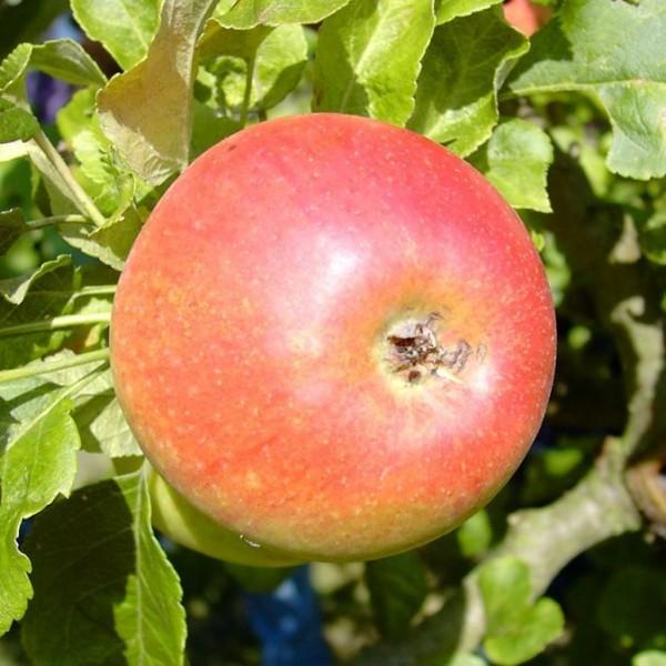 Alkmene aromatischer robuster Herbstrapfel Hochstamm 180 cm Stamm wurzelnackt