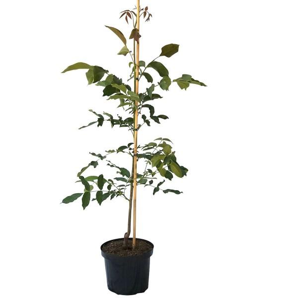 Walnuss Apollo, veredelter Walnussbaum 120-170 cm, wohlschmeckende Nuss, Pflanze im 10 Liter Topf