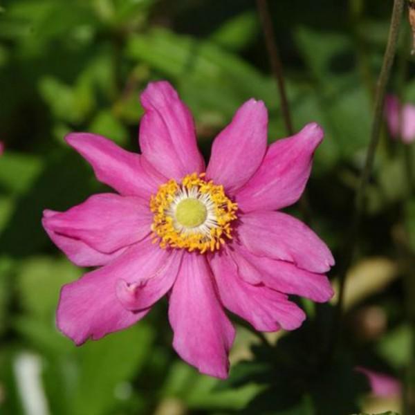 Anemone japonica Hybride Prinz Heinrich, purpurrote Blüte, Staude im 0,5 L Topf