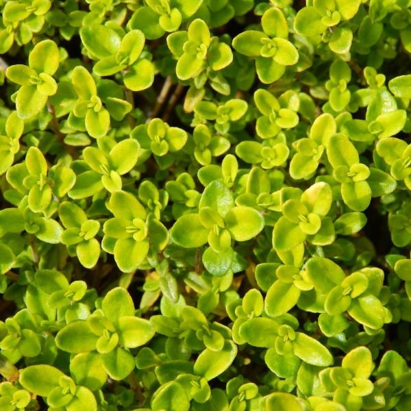 Zitronenthymian Thymus citriodorus Aureus gelbblättrig rosa blühend Staude im 0,5 Liter Topf