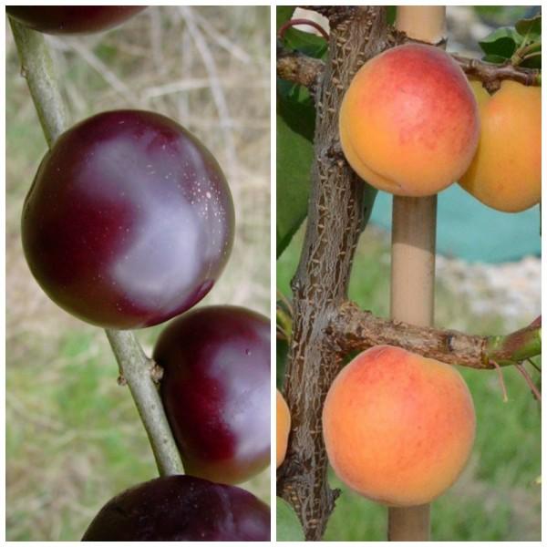 Duo Multi Fruit Tree: Aprikose u. Japanische Pflaume auf einem Baum, 120-150 cm, 10 Liter Topf