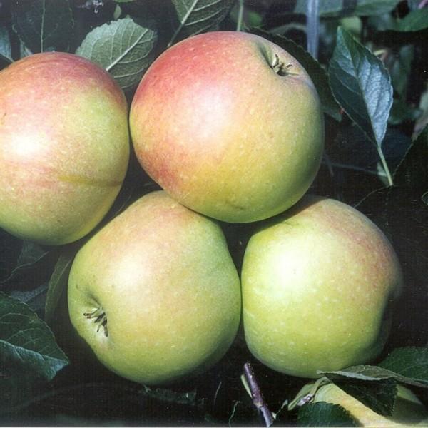 Apfelbaum James Grieve saftig süßer Sommerapfel Kultursorte Busch ca. 120-150 cm  9,5 L Topf MM 111