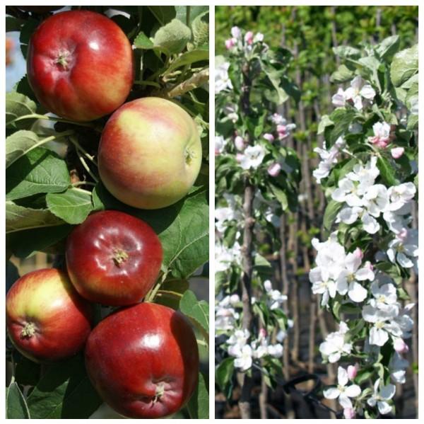 Dzin Ⓡ robuster Säulenapfel, großer süßer Apfel, ca 80-100 cm im 7,5 Liter Topf, Unterlage: M7