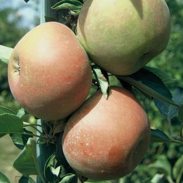 Apfelbaum Holsteiner Cox saftig aromatischer Herbstapfel Buschbaum 120-150 cm 7,5L Topf Unterlage M9