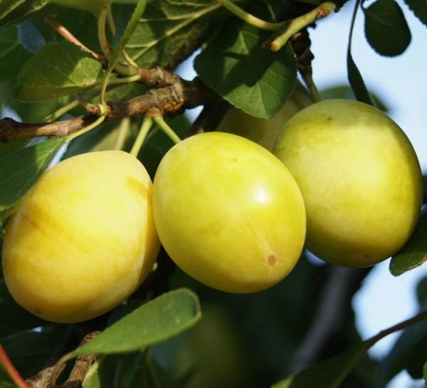 Gelbe Hauszwetsche gelb würzig aromatisch Buschbaum 120-150 cm 9,5 Liter Topf Unterlage St. Julien A