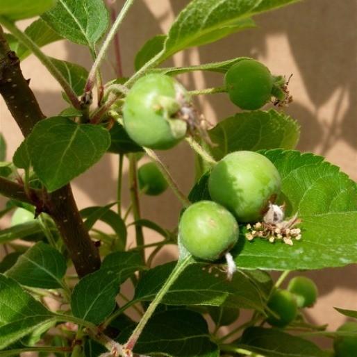Wildapfel Holzapfel Apfel Malus sylvestris Bienen Insekten Nährgehölz Pollenspender 3L Topf 60-100cm