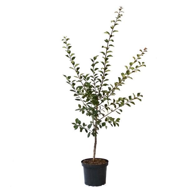 Pflaumenbaum 1a-plant Artländer Zuckerpflaume kleine süße Pflaume Buschbaum 150-170 cm 10 Liter Topf