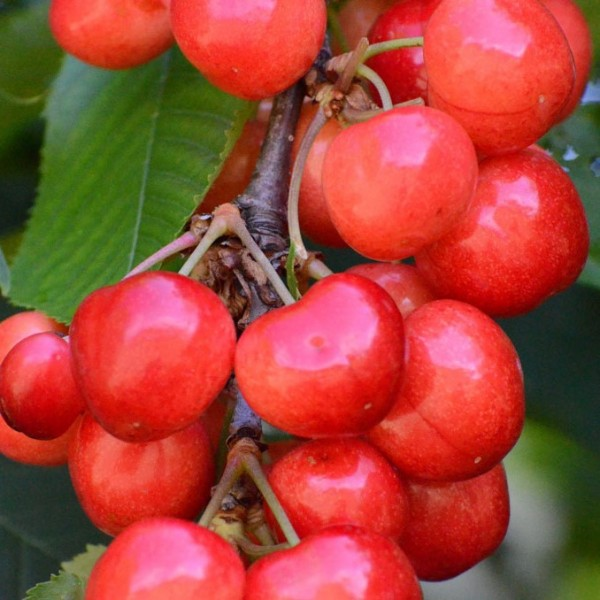Sam kleinbleibende Süßkirsche Busch guter Geschmack ca. 120-150 cm im 10 Liter Topf GiSelA 5