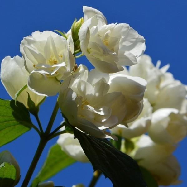 Duftender Gartenjasmin Schneesturm Falscher Jasmin gefüllte duftende Blüte ca. 60-100 cm 3 L