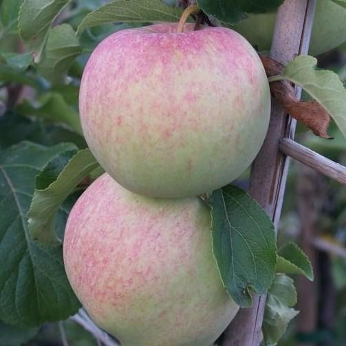 Reka (S) Herbstapfel