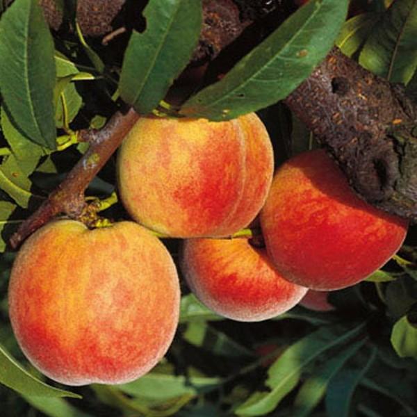Suncrest Pfirsich gelbfleischig großfrüchtig Buschbaum 120-150 cm 9,5 Liter Topf