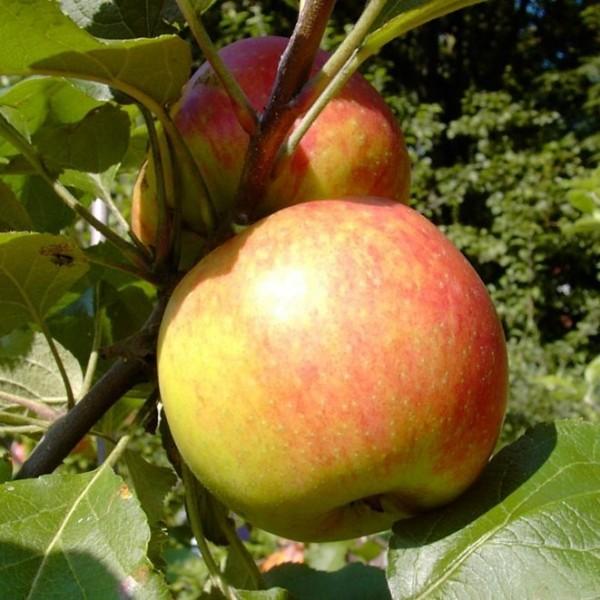 Apfelbaum Biesterfelder Renette Zwergobst Zwergapfel schwachwachsend Terrassenobst 120- 50 cm M9