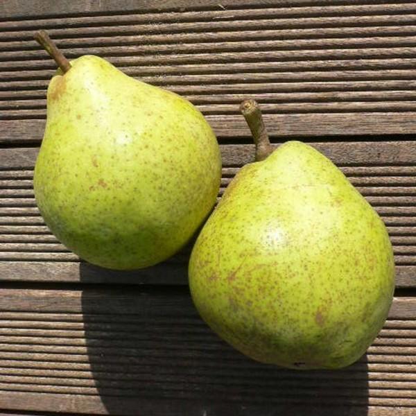Birnenbaum Novemberbirne, Novembra robuste Spätherbst- Birne, Buschbaum im 10 Liter Topf, Quitte A