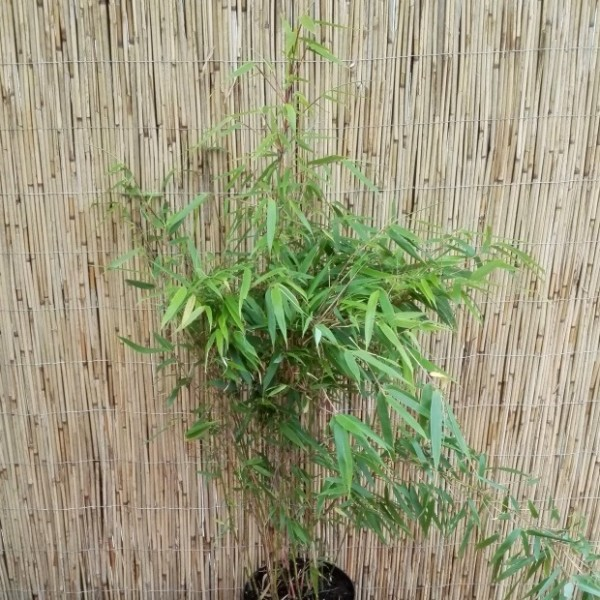 Garten- oder Schirmbambus, Fargesia murielae Bambus, immergrün, ca. 20-50 cm Pflanze im 3 Liter Topf