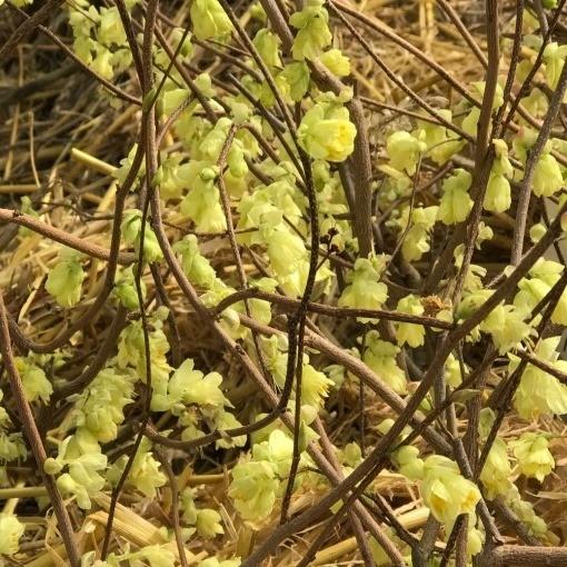 Niedrige Scheinhasel Corylopsis pauciflora 50 - 60 cm im Topf Blütenstrauch Gartengehölz