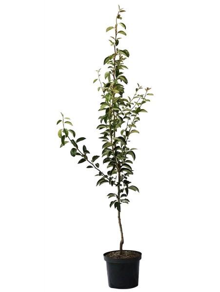 Birnenbaum Rote Williams Herbstbirne Buschbaum ca. 150-170 cm im 9,5 Liter Topf Unterlage Quitte A