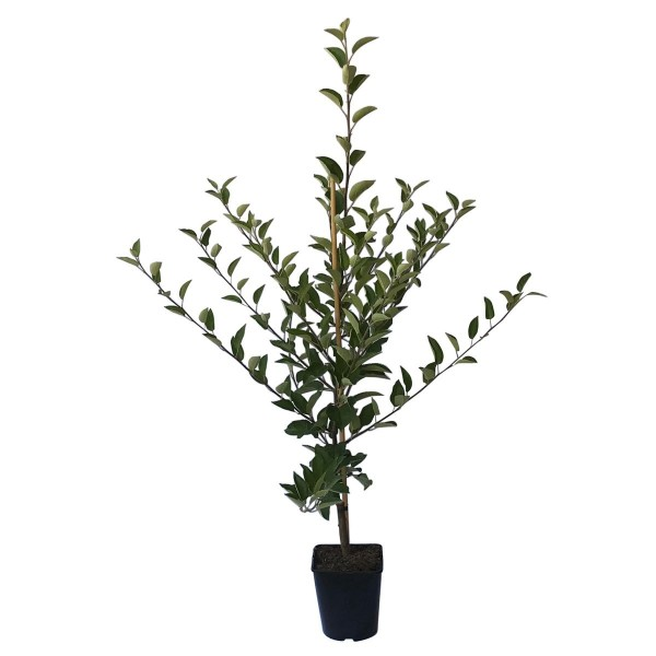 Apfelbaum Roter Gravensteiner, früher Herbstapfel Spindelbaum, 120-100 cm im 5 Liter Topf, Unterlage M7