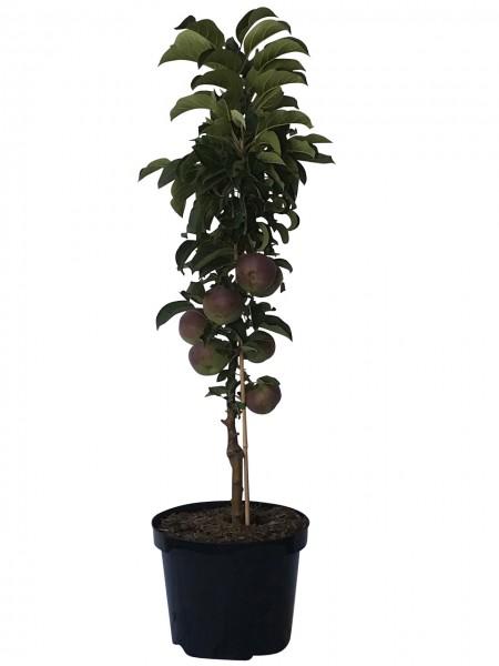 Säulenapfel 1a-plant Finn (S)
