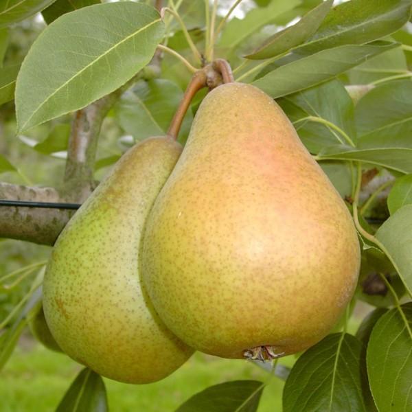 Harrow Sweet ® Herbstbirne