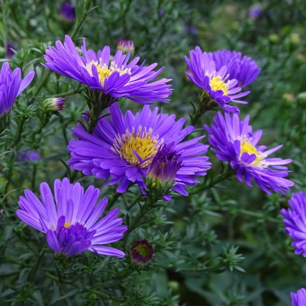 Rauhblattaster Barr's Blue blauviolette Blüten im Sept. Oktober Staude Herbstaster im 11 cmTopf