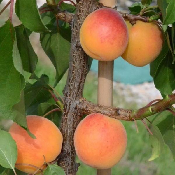 Early Orange saftig süße Aprikose beliebte zuverlässige Sorte ca. 120-150 cm Unterlage: Sämling