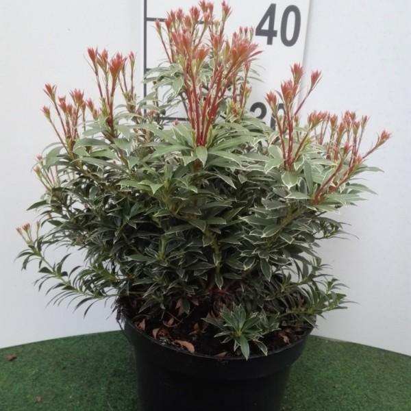 Schattenglöckchen Pieris japonica Little Heath, rötlicher Blattaustrieb, ca. 40-50 cm, 3 Liter Topf