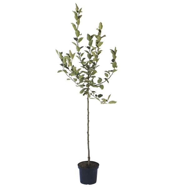 Apfelbaum EcoletteⓈ selbstfruchtbarer Winterapfel Halbstamm 170-200 cm 10 Liter Topf Unterlage M7
