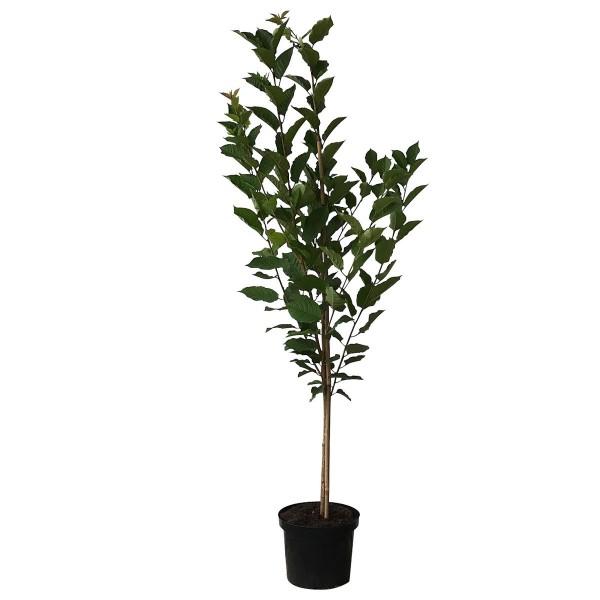 Vowi Ⓢ Sauerkirsche gut steinlösend Buschbaum 120-150 cm im 10 Liter Topf wurzelecht