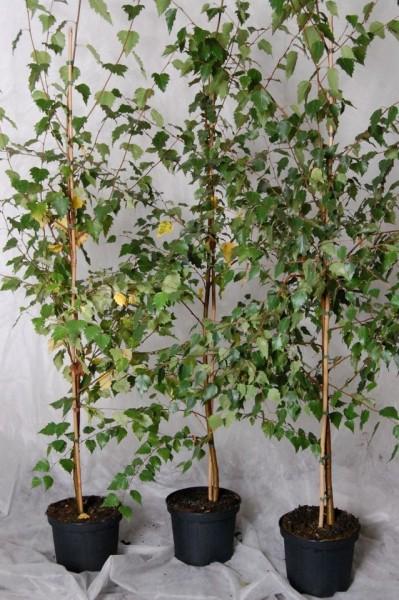 Hängebirke Sandbirke, Betula pendula Pionierbaum Hausbaum Heister mit ca. 80-100 cm, 5 Liter Topf