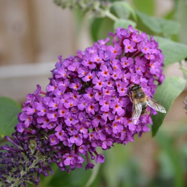 Zwerg Sommerflieder Buddleja davidii Purple Chip lila blau blühend duftend Bienenweide