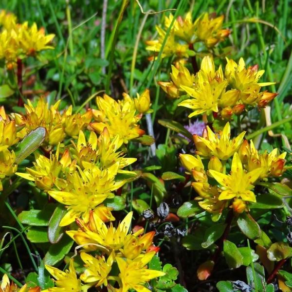 Goldfetthenne Weihenstephaner Gold goldgelbe Blüten reichblühend bodendeckend Staude im 0,5 L Topf