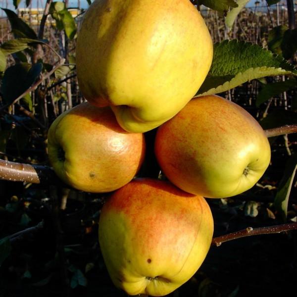 Finkenwerder Herbstprinz Syn Hasenkopf, unempfindlicher historischer Apfel Buschbaum 120-150cm MM111