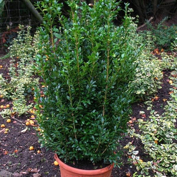 buchsbaum strauch buxus 20 30 cm hoch 1 pflanze im 1 liter topf gr ner garten shop. Black Bedroom Furniture Sets. Home Design Ideas