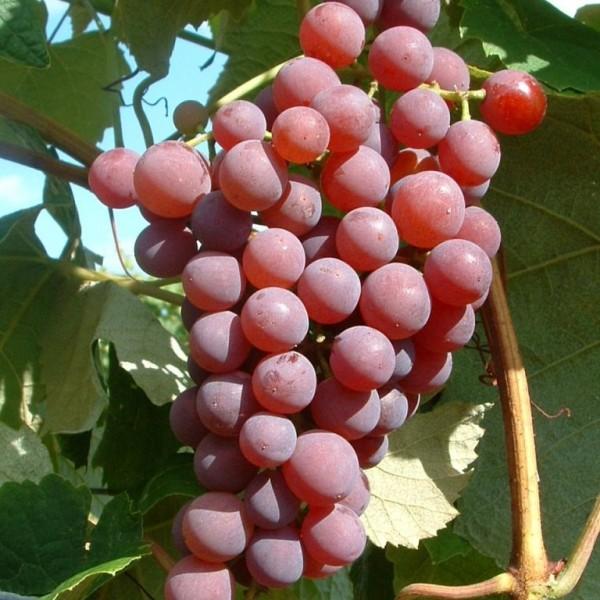 Canadice kernlose Weinrebe rosa Trauben