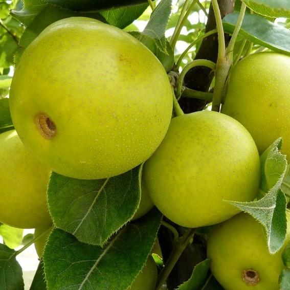 Nashi Nijisseiki, Asienbirne Apfelbirne als Buschbaum, 150-170 cm 9,5 Liter Topf Unterlage: Sämling