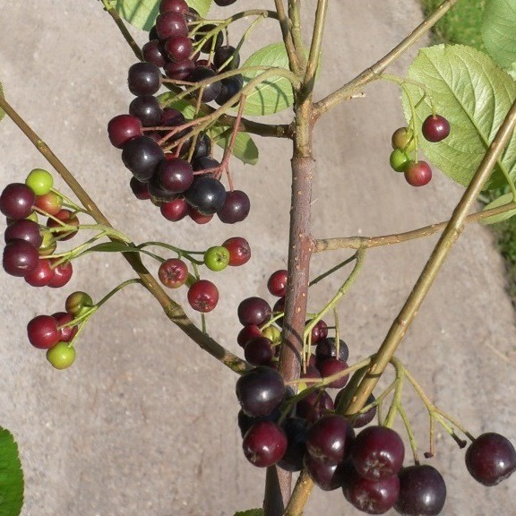 Aronia Viking schwarze Apfelbeere reichtragende Sorte ca. 20-40 cm Pflanze im 3,5 Liter Topf