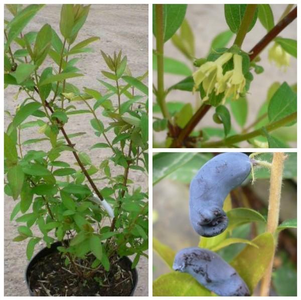 Duet Sibirische Blaubeere Lonicera Kamtschatica frosthart Vitamin C ca. 40-60 cm im 2,5-5 Liter Topf