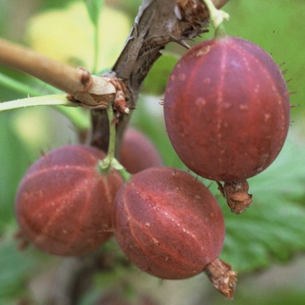 Hinnonmäki rote Stachelbeere