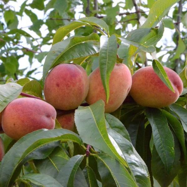 Rekord aus Alfter robuster Pfirsich frühe Reife Buschbaum 120-150 cm 10 Liter