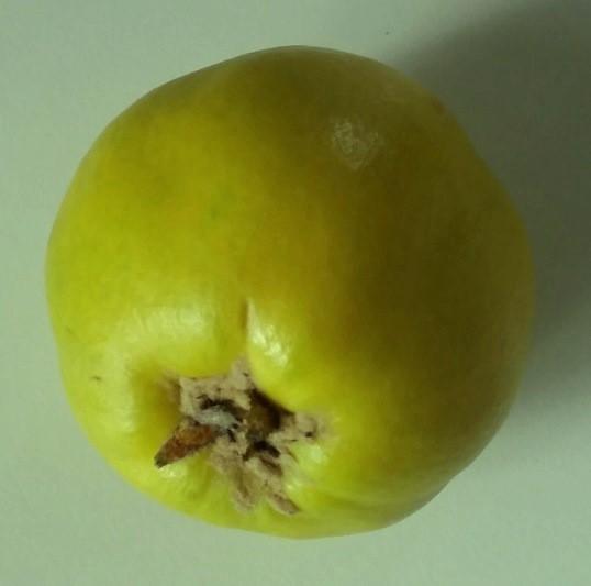 Quittenbirne Pyronia veitchii Kreuzung Birne x Quitte 150-170 cm im 10 Liter Topf Unterlage Quitte A