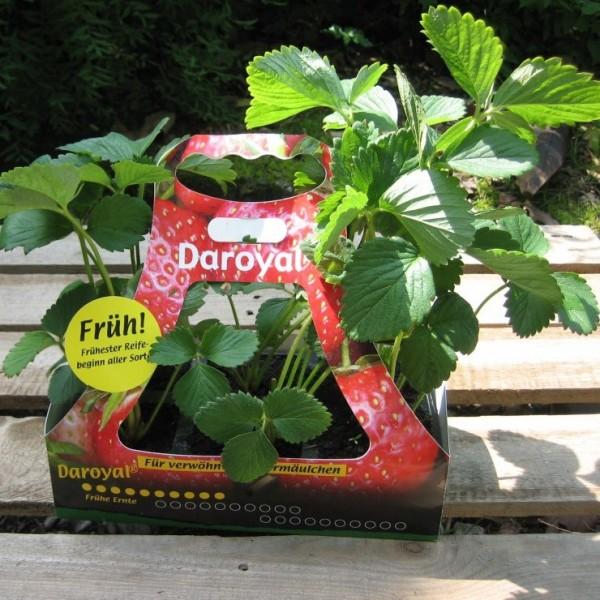 NEU! Erdbeere Sorte Daroyal®, sehr frühe Sorte mit großen Früchten und guten Erträgen, im 6 er Tray