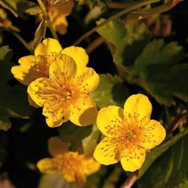 Golderdbeere, Waldsteinia ternata, gelbblühend im April-Juni, Bodendecker, Staude im 0,5 Liter Topf