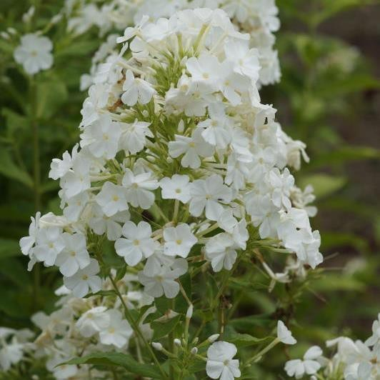 Breitblatt- Flammenblume, Phlox amplifolia Weiße Wolke, Staude im 1 L Topf