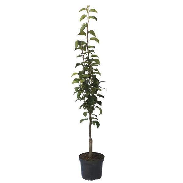 Nashisäulenbaum Nijseiki, Asienbirne Apfelbirne tolle Nashi als Säule ca. 100-120 cm 7,5 Liter Topf