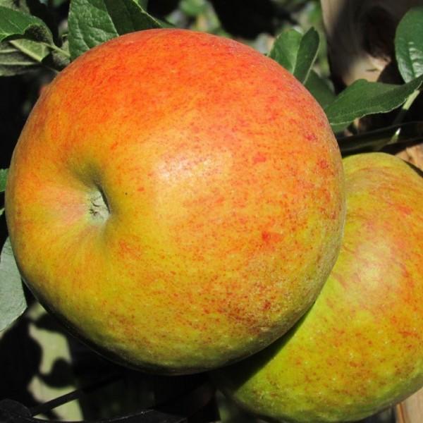 Apfelbaum Pinova Ⓡ Winterapfel robuste Sorte gegen Schorf und Feuerbrand 120-150 cm 9,5 L Topf MM111