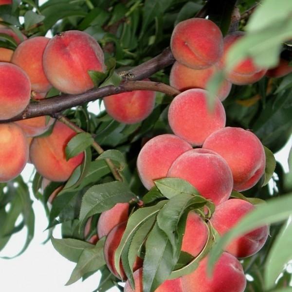 Pfirsichbaum Flamingo frostharter Pfirsich Blüte bis - 8 Grad Buschbaum 120-150 cm 10 Liter Topf
