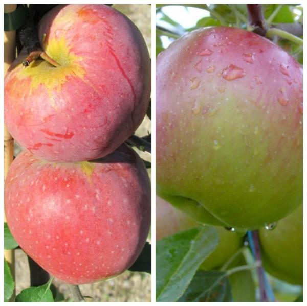 Duo-Apfel Florina und Sir Prize, Herbst- und Winterapfel, 2 Sorten auf einem Baum, Unterlage MM 111