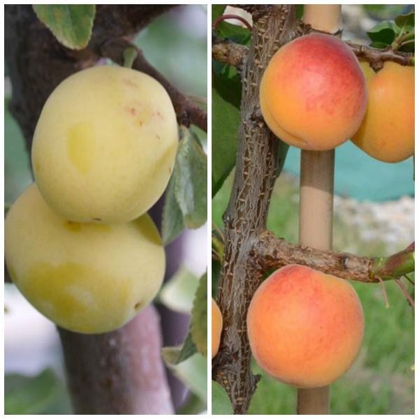 Duo Multi Fruit Tree: Aprikose Ungarische Beste und Mirabelle Aprimira auf einem Baum, 120-150 cm