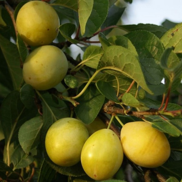 Goldzwetsche Tipala Ⓡ selbstfruchtbar robust Buschbaum 150-170 cm 9,5 L Topf Unterlage St.Julien A