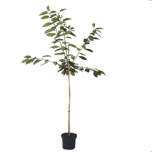 Schneiders Späte Knorpelkirsche Süßkirsche Kirschbaum Halbstamm 170-200 cm 10 Liter Topf F12/1